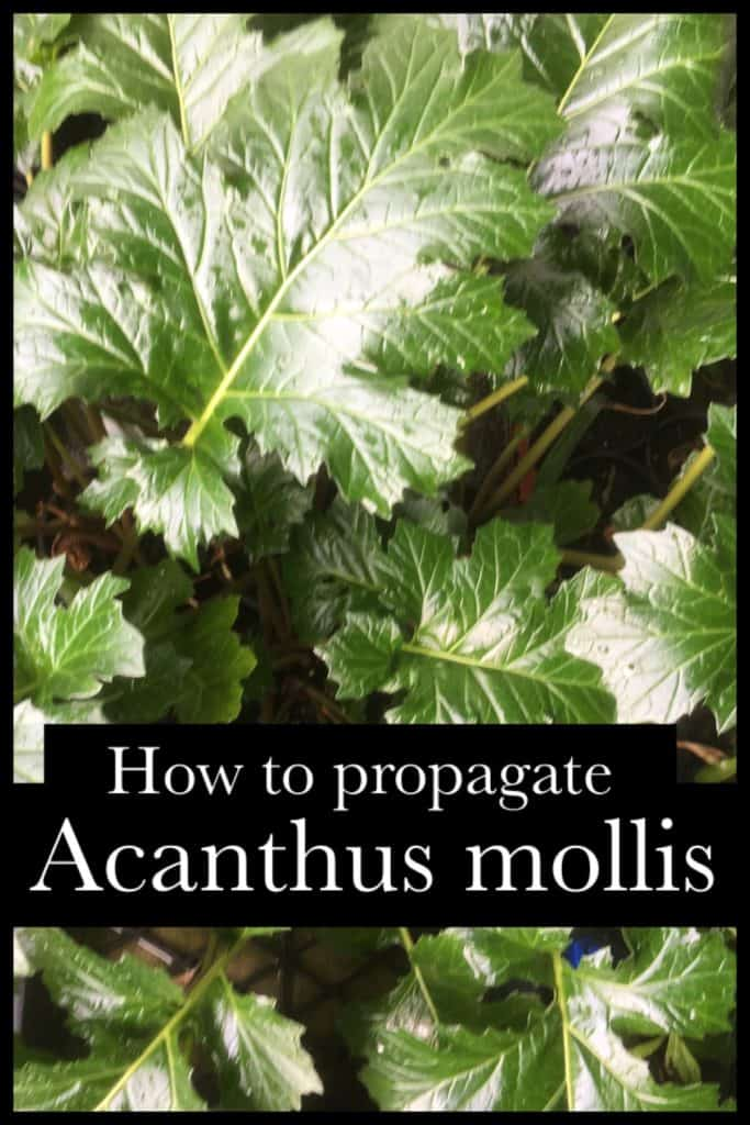 Propagate acanthus mollis- oyster plant