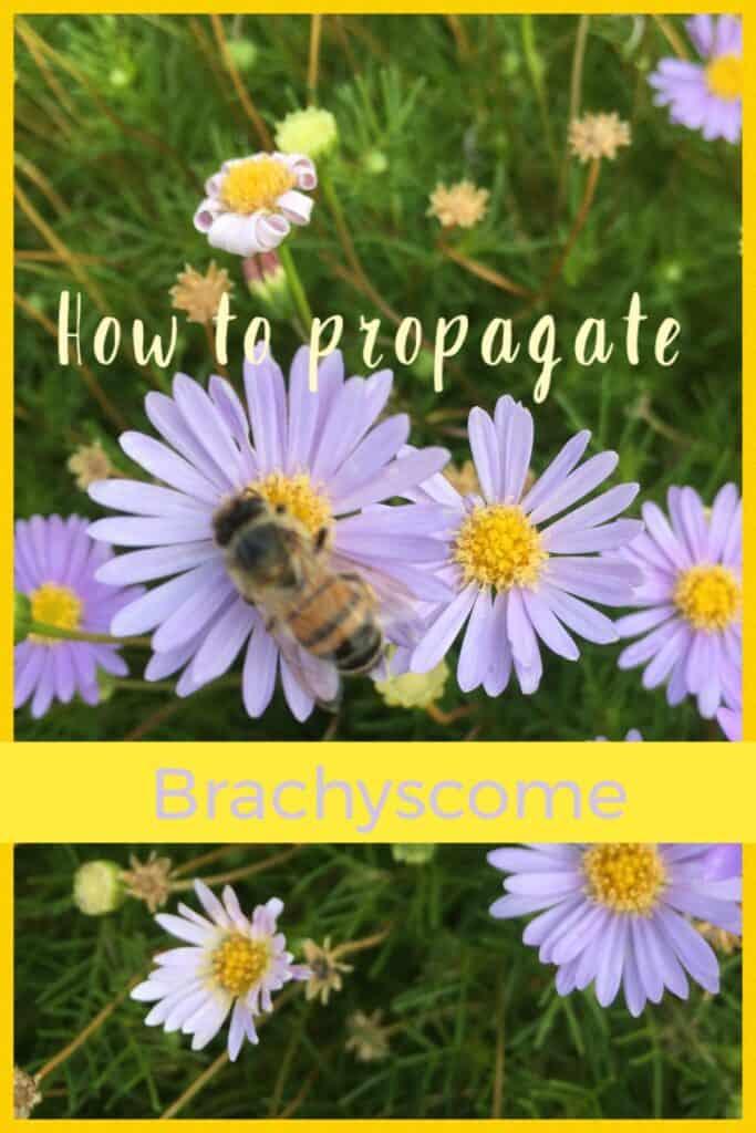 Propagate brachyscome