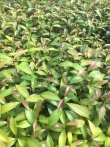 Young syzygium australe plants