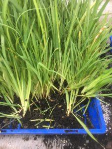 Dietes seedlings