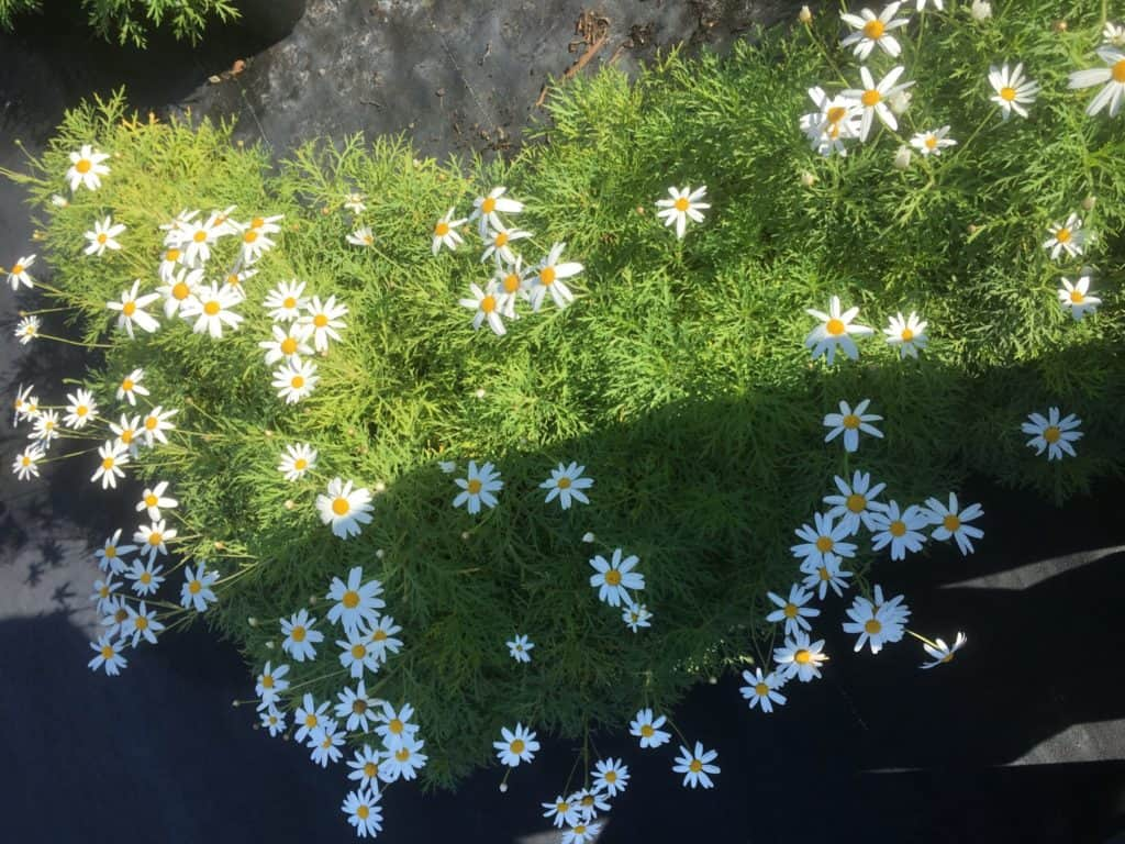 Single White Daisy -Argyranthemum frutescens