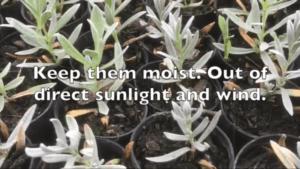 Propagate-Cerastium tomentosum-snow in summer