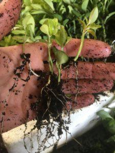 sweet box seedlings