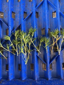 Scleranthus biflorus cuttings