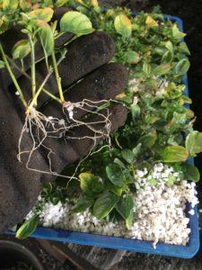 Convolvulus sabatius struck cuttings