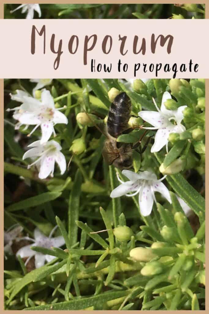 Propagate Myoporum