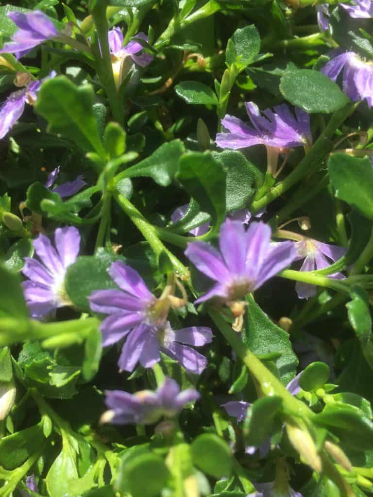 Scaevola (fan flower) Albida- Mauve clusters