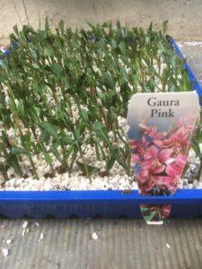Gaura cuttings in perlite peat moss mix