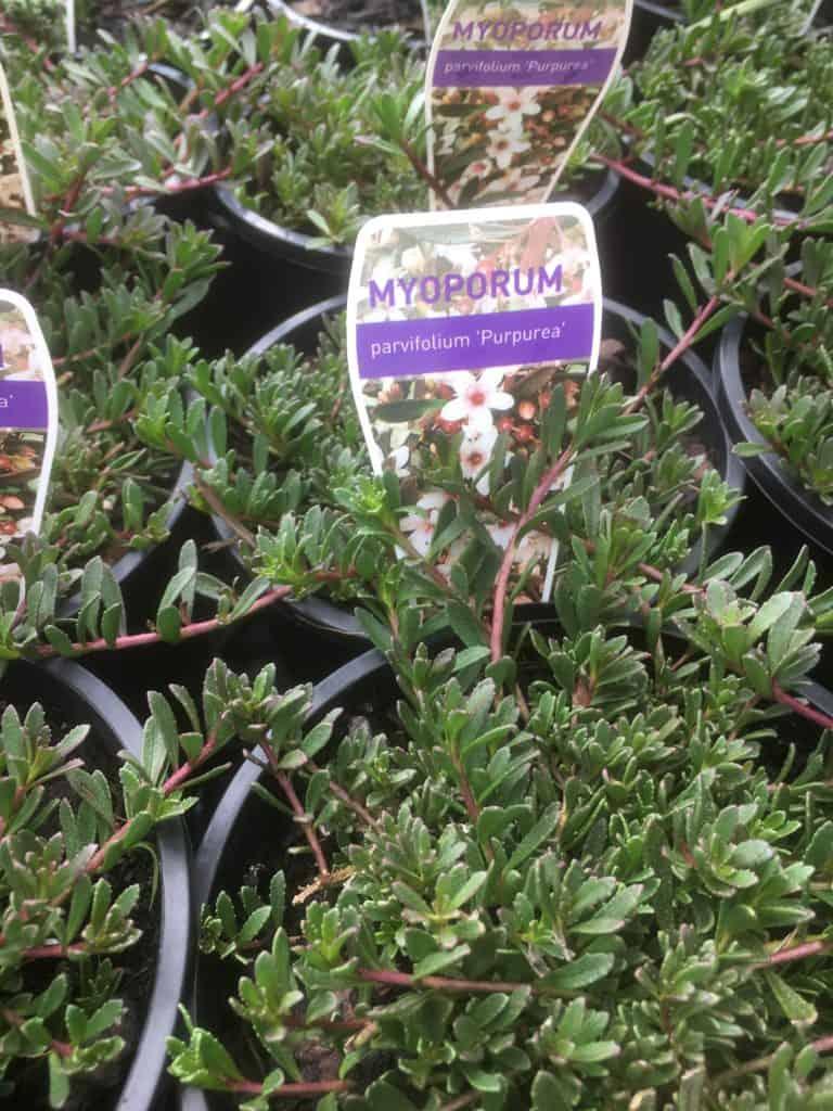 Myoporum parvifolium purpurea