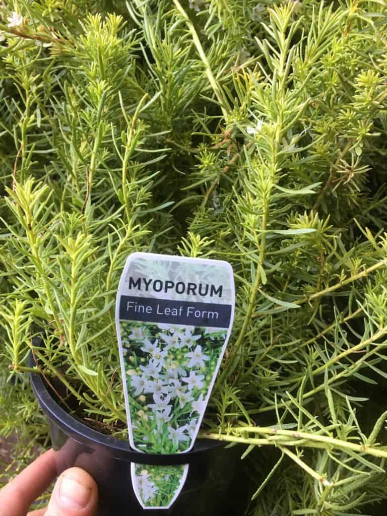 Myoporum parvifolium fine leaf form