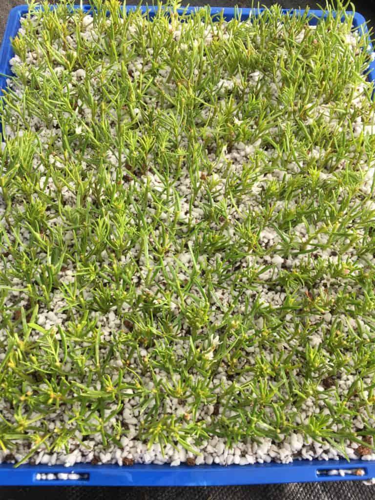 tray of myoporum parvifolium fine leaf form cuttings