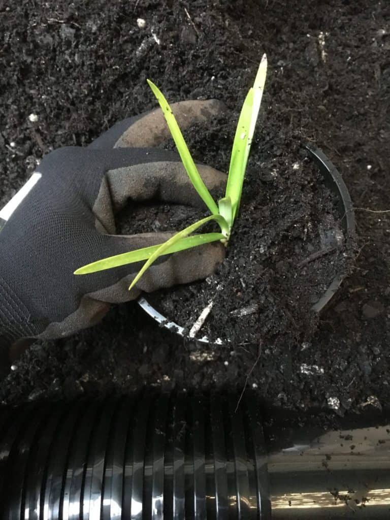 Potting Agapanthus