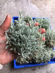 Santolina cuttings
