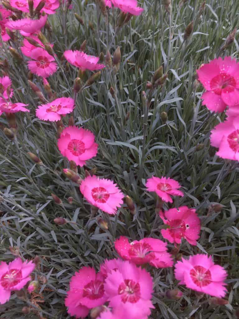 Dianthus-carnation-pink
