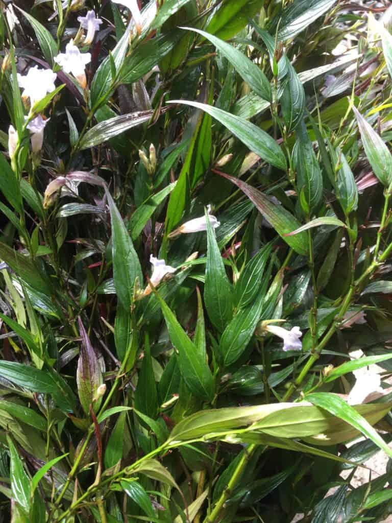 Strobilanthes anisophyllus or persicifolia