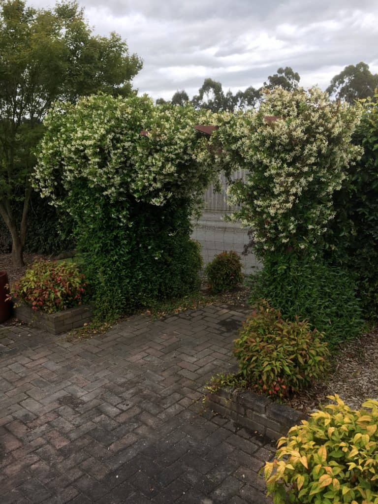 Trachelospernum asiaticum- Japanese star jasmine- Best plants for privacy