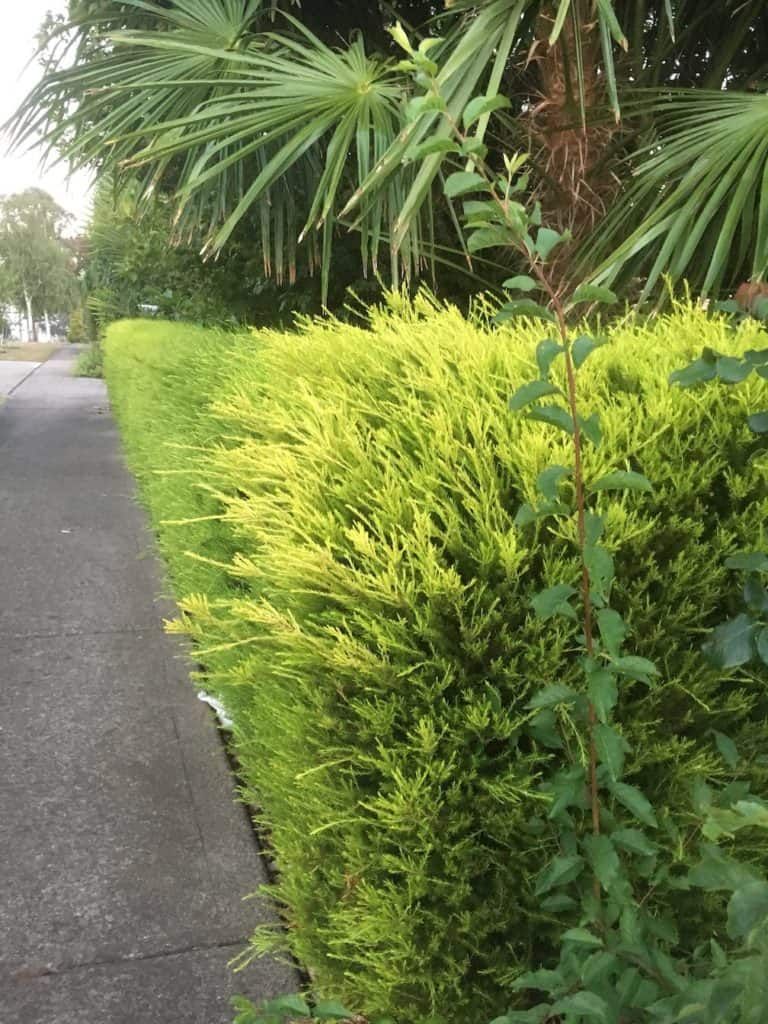 8 great plants for a low hedge-Golden diosma