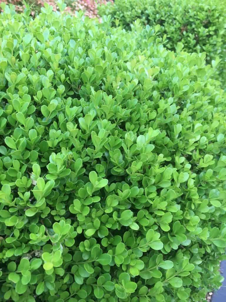 8 Great plants for a low hedge-Dutch Box