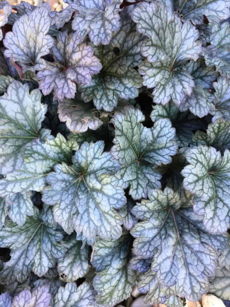 Heuchera- plants for shade