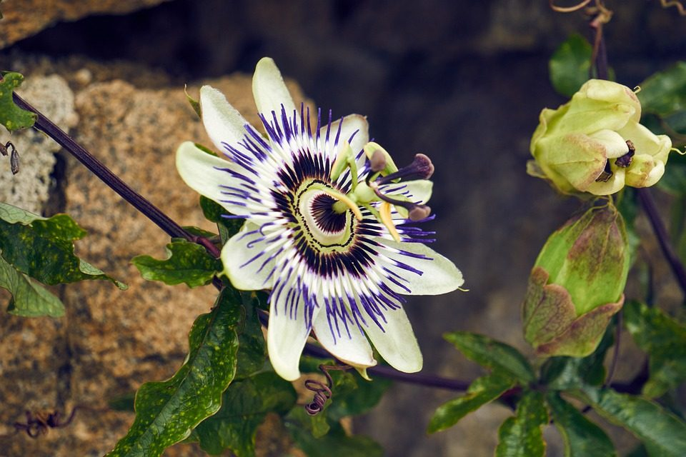 HEALTH BENEFITS OF PASSION FLOWER