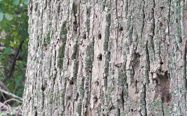 Emerald ash borer holes in bark