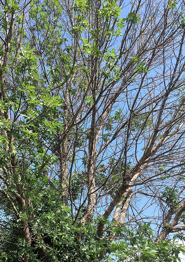 Ash tree dying from emerald ash borer infestation