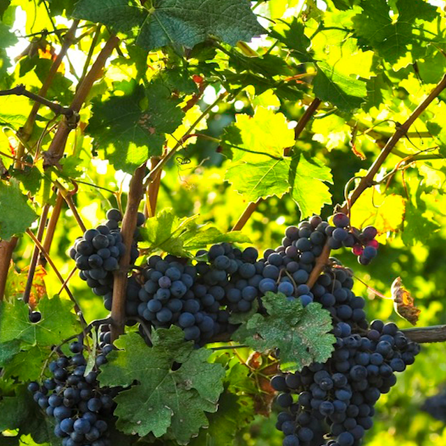 grapes-banner