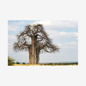Baobab Tree, Tanzania