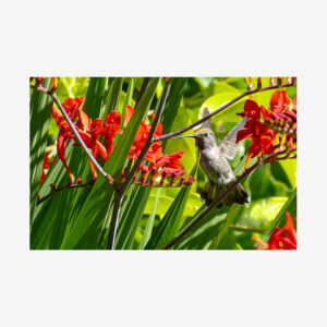 Hummingbird with Red Canna, Salt Spring Island, Canada