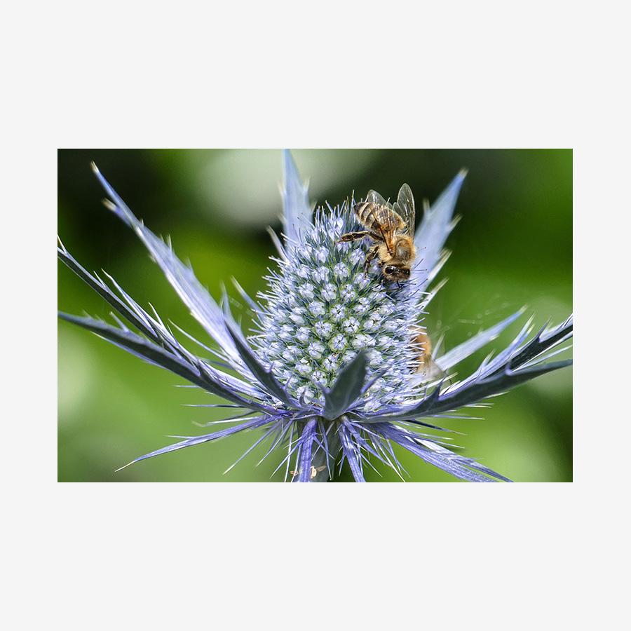 Italian Eryngo with Bee Profile, Salt Spring Island, Canada