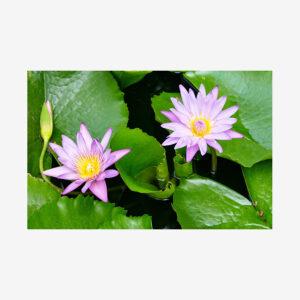 Purple Lotus with Pads, Laos