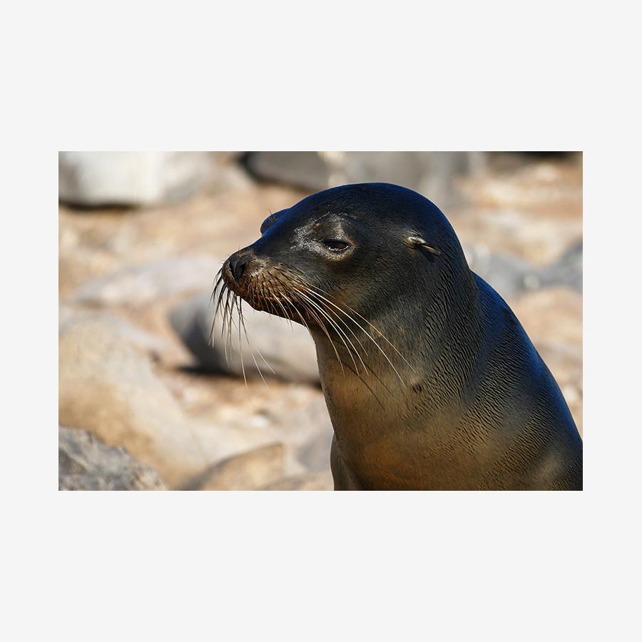 Baby Sea Lion, Galápagos Islands