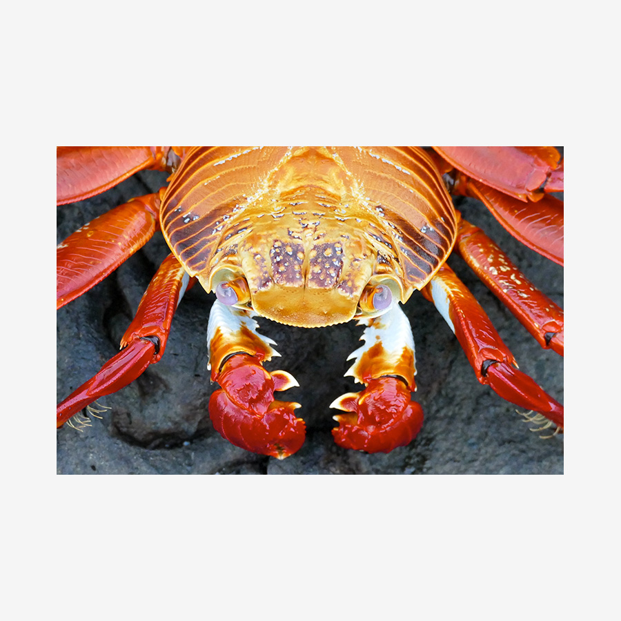 Boxing Crab, Galápagos Islands