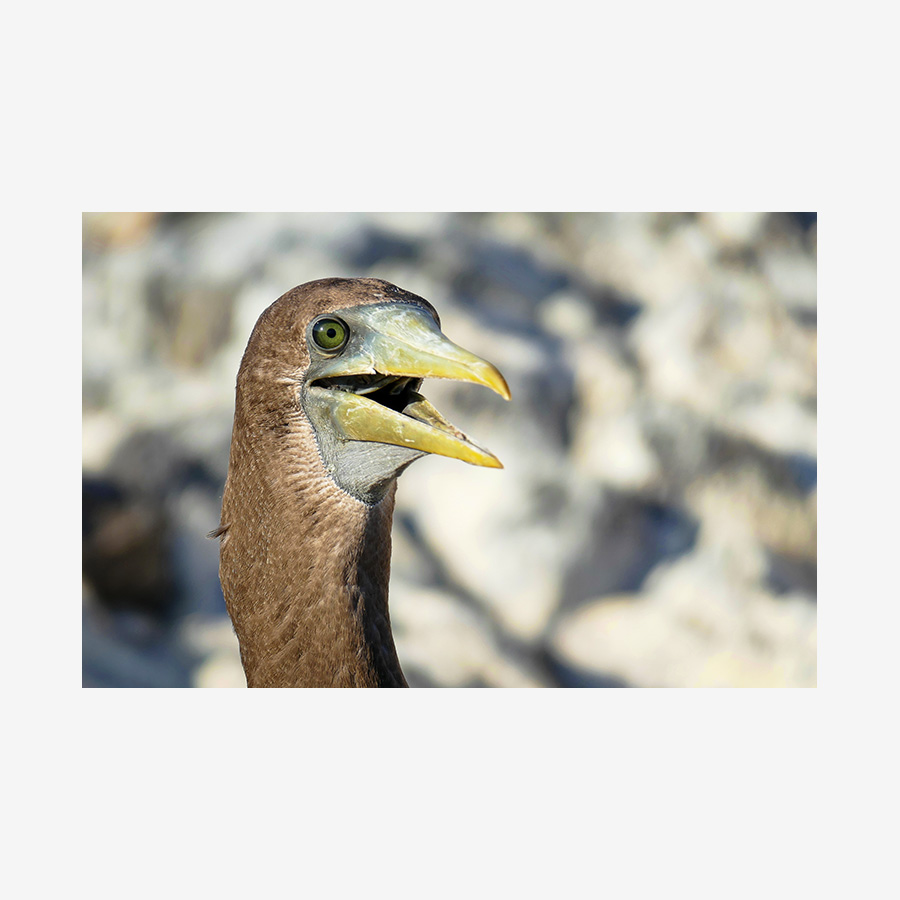 Brown Open-Mouthed Booby, Galápagos Islands
