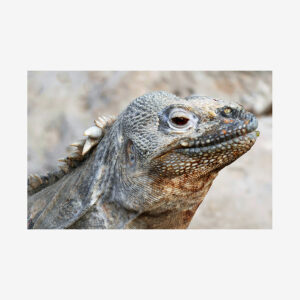 Red-Eyed Lizard, Galápagos Islands
