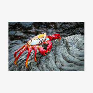 Lava Crab, Galápagos Islands