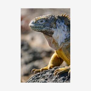 Dragon Lizard, Galápagos Islands