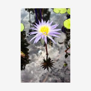 Pond Lotus Flower, Miami, Florida