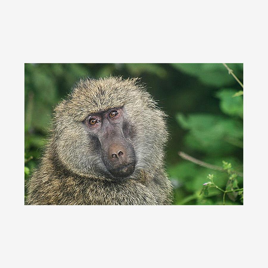 Single Ape, Tanzania