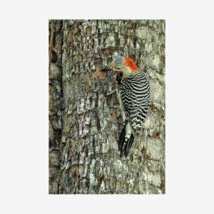 Woodpecker, Miami, Florida