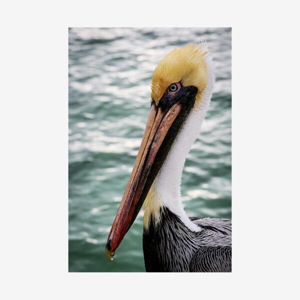 Pelican, Key Largo, Florida