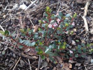 myrteola nummularia, mieux que myrtus ugni molinae
