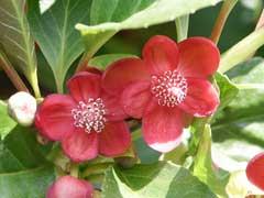 Blumen von S. Rubriflora