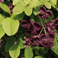 fleurs akebia quinata