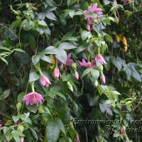 passiflora tarminiana9 - TJ