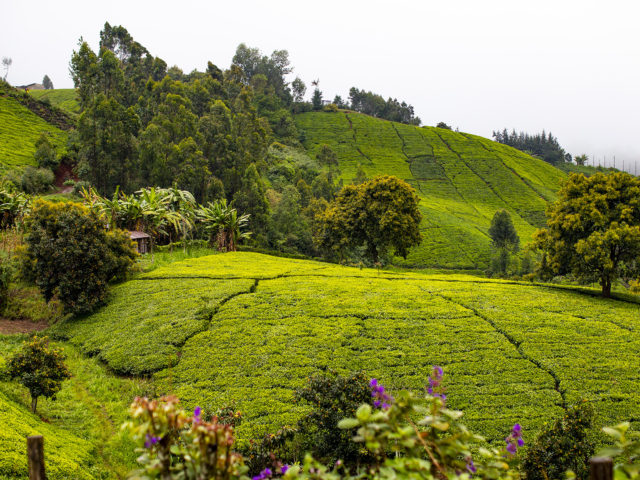 In Tea Country