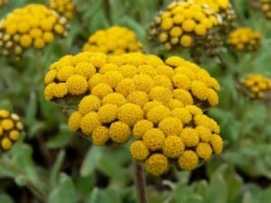 Essential Oils for Scars - Helichrysum