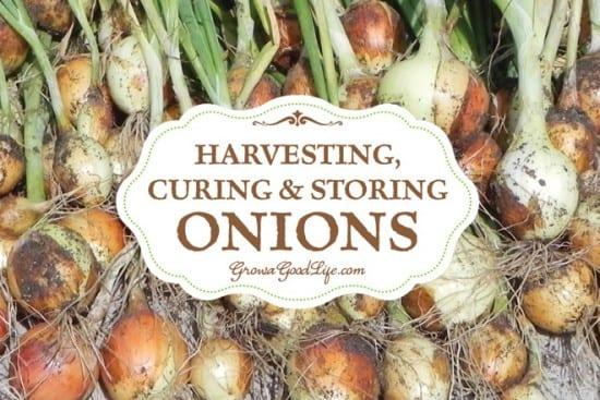 Featured on the Homestead Blog Hop -Harvesting, Curing, and Storing Onions from Grow a Good Life