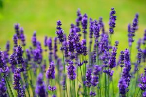 Lavender - 20 Stress Relieving Herbs and Teas from Simple Life Mom