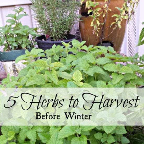 Homestead Blog Hop - 5 Herbs to Harvest Before Winter